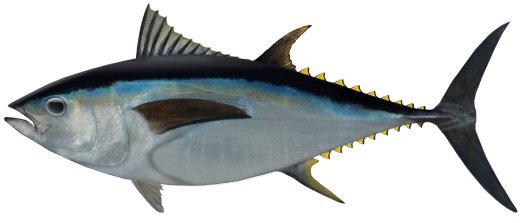 big_eye_tuna.jpg