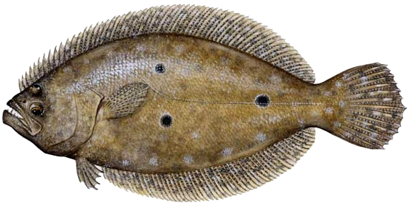 Nj summer flounder fluke regulations nj saltwater for Fluke fishing nj